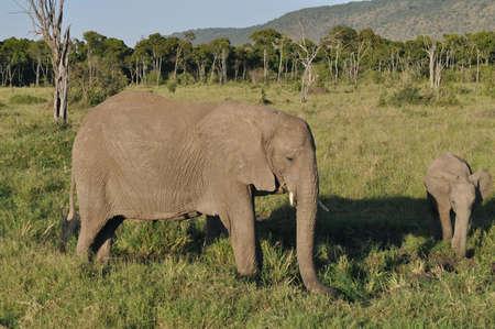 the mara: Wildlife - Elephants in Masai Mara Stock Photo