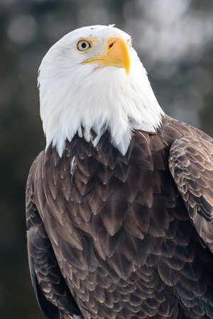 messengers: Bald eagle on dark background