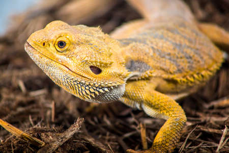 fart: Bearded dragon profile Stockfoto