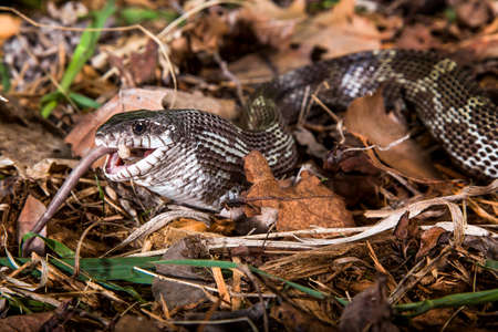 colubridae: Black rat snake feeding