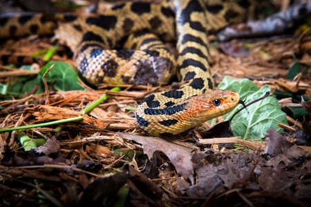 and diurnal: Fox snake fliking icts Tougne to smell the air. Stock Photo