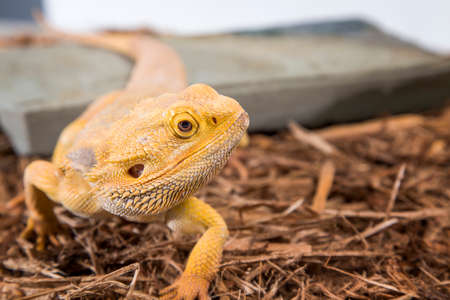 insectivorous: Male bearded dragon