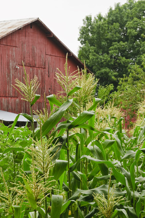 Corn grows in front of an old red barn.