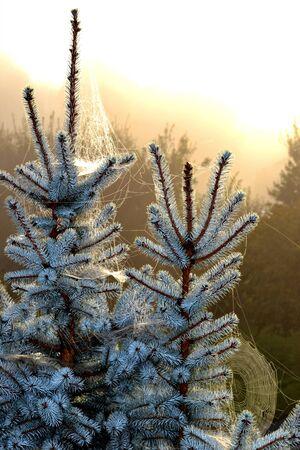 frosty cobwebs