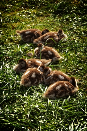 sweet grasses: Wild Goose chicks on grass