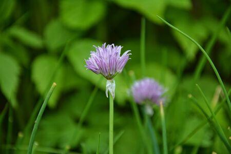 cebollin: Cebolletas con las flores púrpuras en el jardín Foto de archivo