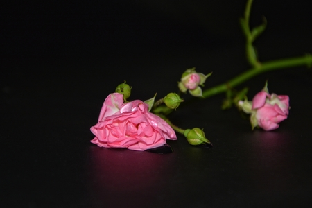 Pink roses with water droplets lying on black background Stock Photo
