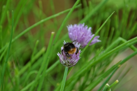 chive: Bumblebee on purple chive blossom in green garden