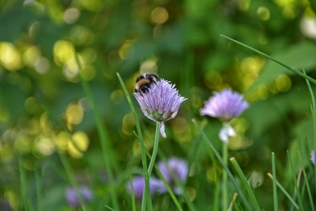Bumblebee on purple chive blossom in green garden
