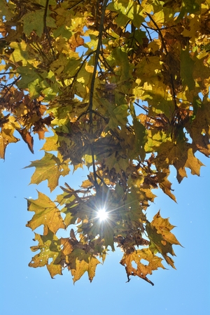 Colorful autumn leaves hanging on tree branch with blue sky with sun beams Stock Photo