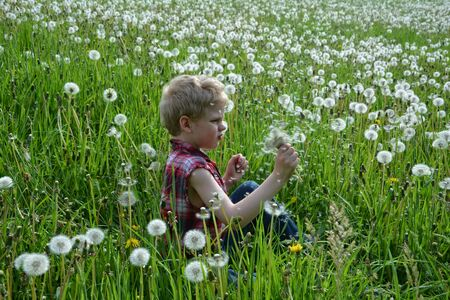 Small boy of the side sits in meadow and shakes many puffs flowers in his hand Stock Photo