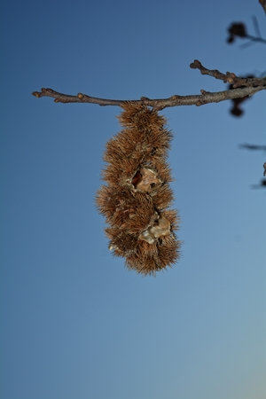 Empty chestnut bowls on a branch - a chestnut still in the bowl 版權商用圖片