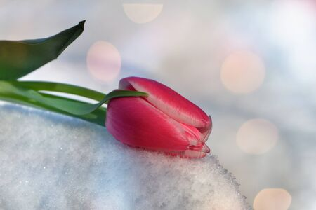 ions: Pink tulip lies in the snow (Tulipa) with light reflection ions Stock Photo