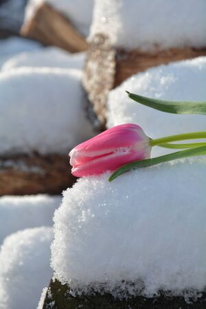 Pink tulip (Tulipa) with leafs lies on snowy wooden trunk