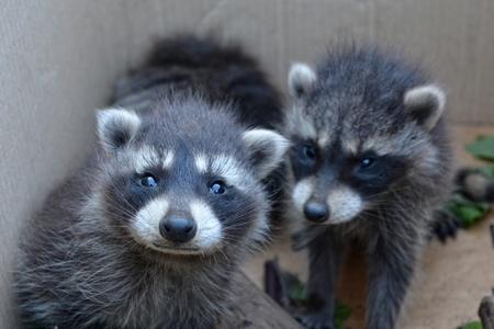 sweetly: Two small racoons look forwards