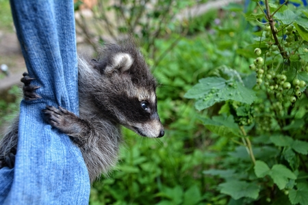 A racoon - baby hangs on jeans in green nature and looks aside