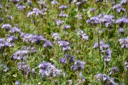 kerneudikotyledonen: Lilac Phacelia blossoms (scorpionweed, heliotrope, Boraginaceae) on the field