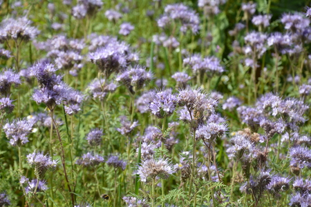 kerneudikotyledonen: Purple Phacelia blossoms (scorpionweed, heliotrope, Boraginaceae) on the field