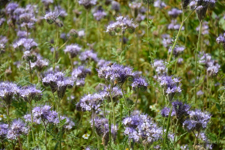 kerneudikotyledonen: Phacelia blossoms (scorpionweed, heliotrope, Boraginaceae, Kerneudicotyledons) on the field Stock Photo
