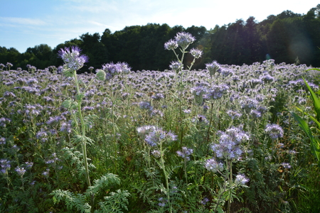 kerneudikotyledonen: Phacelia blossoms (scorpionweed, heliotrope, Boraginaceae, corneudicotyledons) with wood in the background
