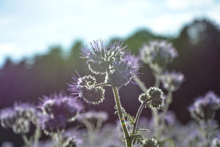 kerneudikotyledonen: Phacelia blossoms (scorpionweed, heliotrope, Boraginaceae) in the backlight with dark background