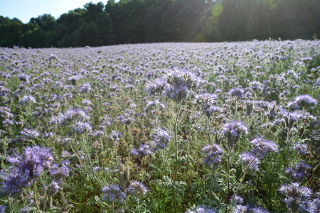 kerneudikotyledonen: Phacelia blossoms (scorpionweed, heliotrope, Boraginaceae) with wood in the background and with sunrays Stock Photo