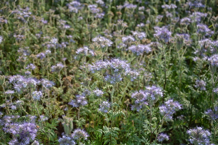 kerneudikotyledonen: Phacelia blossoms (scorpionweed, heliotrope, Boraginaceae) on the field