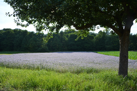 kerneudikotyledonen: Phacelia field (scorpionweed, heliotrope, Boraginaceae, Kerneudicotyledons) with tree in the foreground and wood in the background