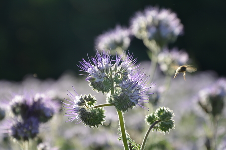 kerneudikotyledonen: Phacelia blossoms (scorpionweed, heliotrope, Boraginaceae, Kerneudicotyledons) in the backlight and bee