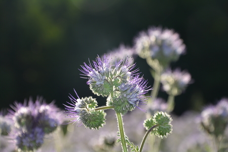 kerneudikotyledonen: Closeup Phacelia blossoms in the backlight with dark background