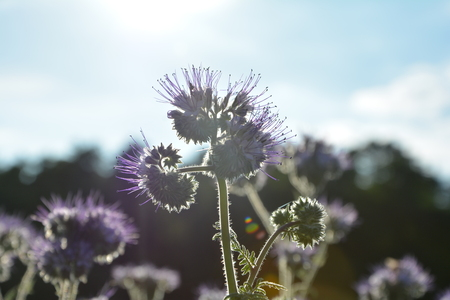 kerneudikotyledonen: Lilac Phacelia blossoms (scorpionweed, heliotrope, Boraginaceae, Kerneudicotyledons) in the backlight Stock Photo