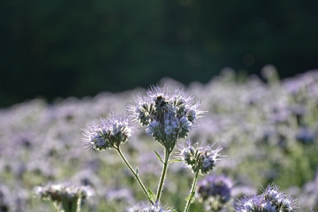 kerneudikotyledonen: Phacelia blossoms (scorpionweed, heliotrope, Boraginaceae, Kerneudicotyledons) in the backlight with dark background