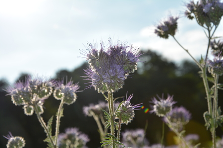kerneudikotyledonen: Phacelia blossoms (scorpionweed, heliotrope, Boraginaceae, Kerneudicotyledons) in the backlight