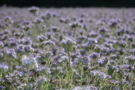 kerneudikotyledonen: Many Phacelia blossoms (scorpionweed, heliotrope, Boraginaceae, Kerneudicotyledons) on the field Stock Photo