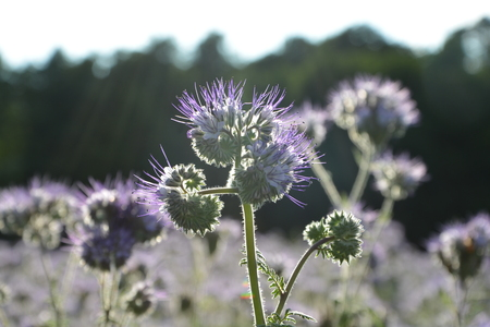 kerneudikotyledonen: Phacelia blossoms (scorpionweed, heliotrope, Boraginaceae) in the backlight