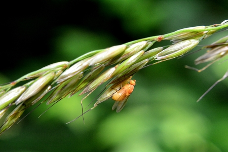 Lauxaniidae - Rotten Fly in orange in nature Foto de archivo