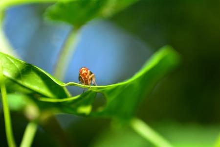 Orange fruit fly in front on leaf in nature (Drosophila melanogaster)