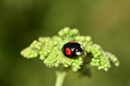 Black ladybird with red points on blue sky in copyspace Foto de archivo