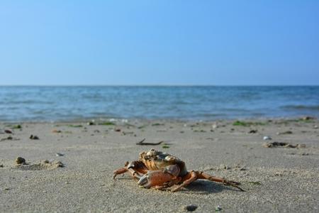 Beach crab on the sandy beach before sea with blue sky