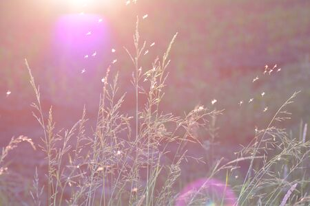 Grasses at sunset with flying insects in backlight, with sunlight and lens flare
