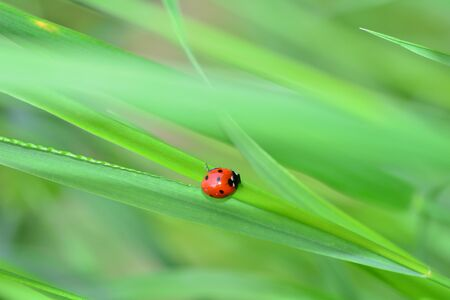 Red ladybug on green grass with many copy space