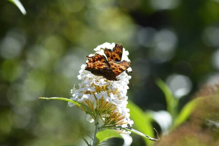 Comma   (  Polygonia c-album  ), butterfly on white summer lilac in nature with copy space and bokeh