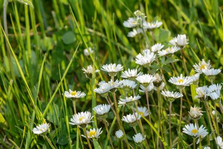 Many daisies and green grass  on a meadow in nature