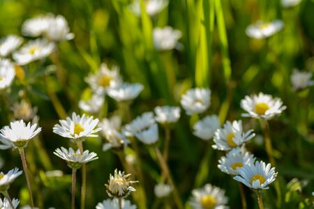 Many daisies on a meadow in nature, in the sunlight