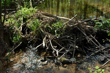 Dam built by beavers, damming a small stream with lots of wood and mud in the sunlight