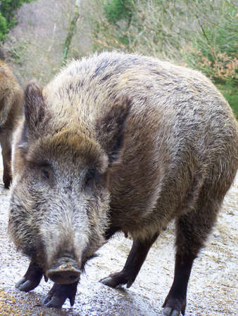 omnivore animal: Boar