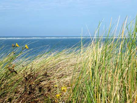 Bild von Strandhafer in den Sanddünen