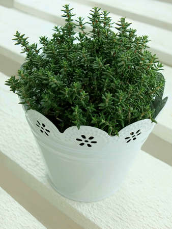 herbary: Image of a thyme plant