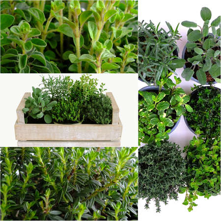 herbary: A collage of mixed herbs Stock Photo