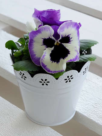 pansies in a flower pot photo